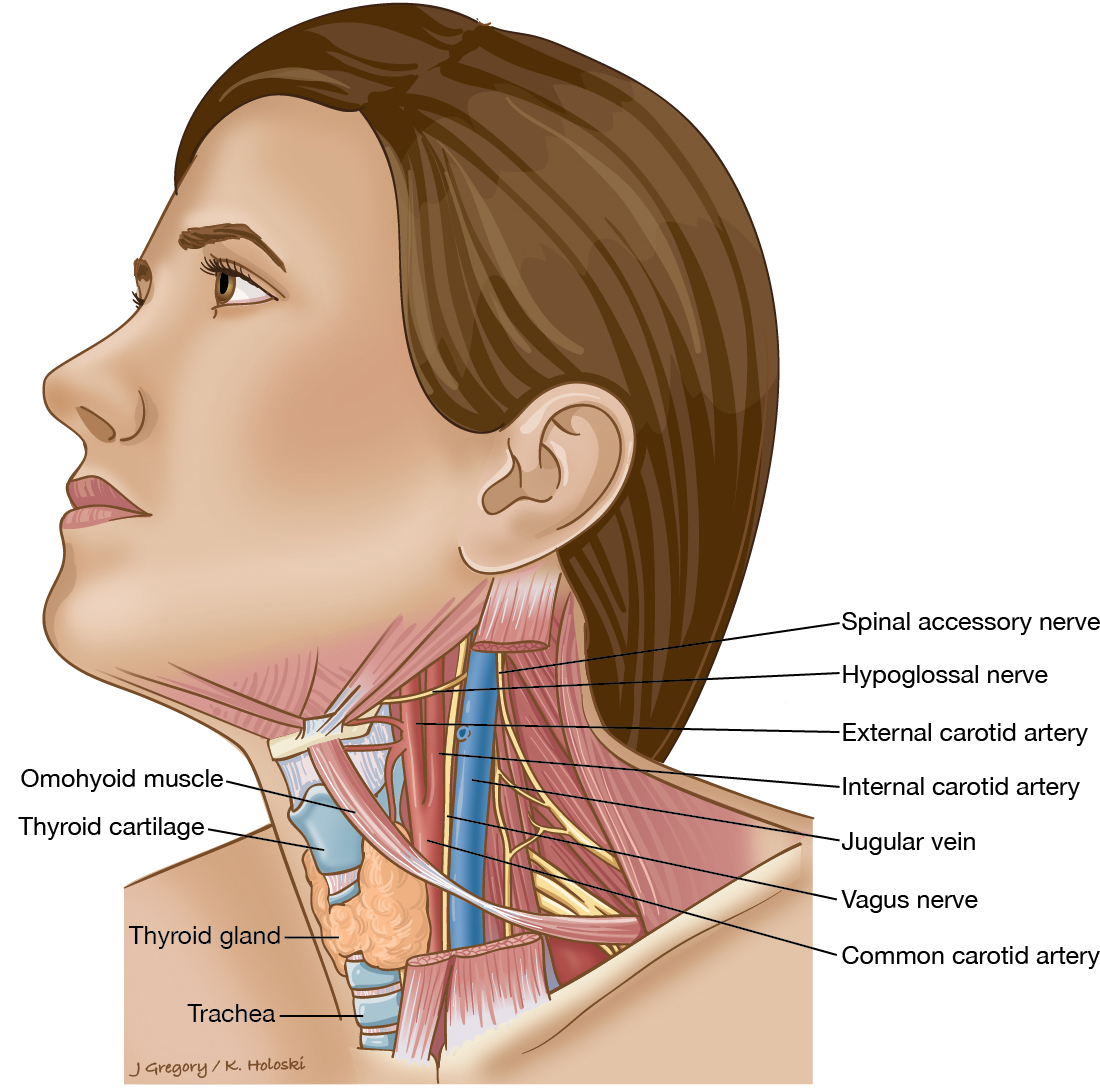 courses:zsl:72_carotid_sheath-1.jpg